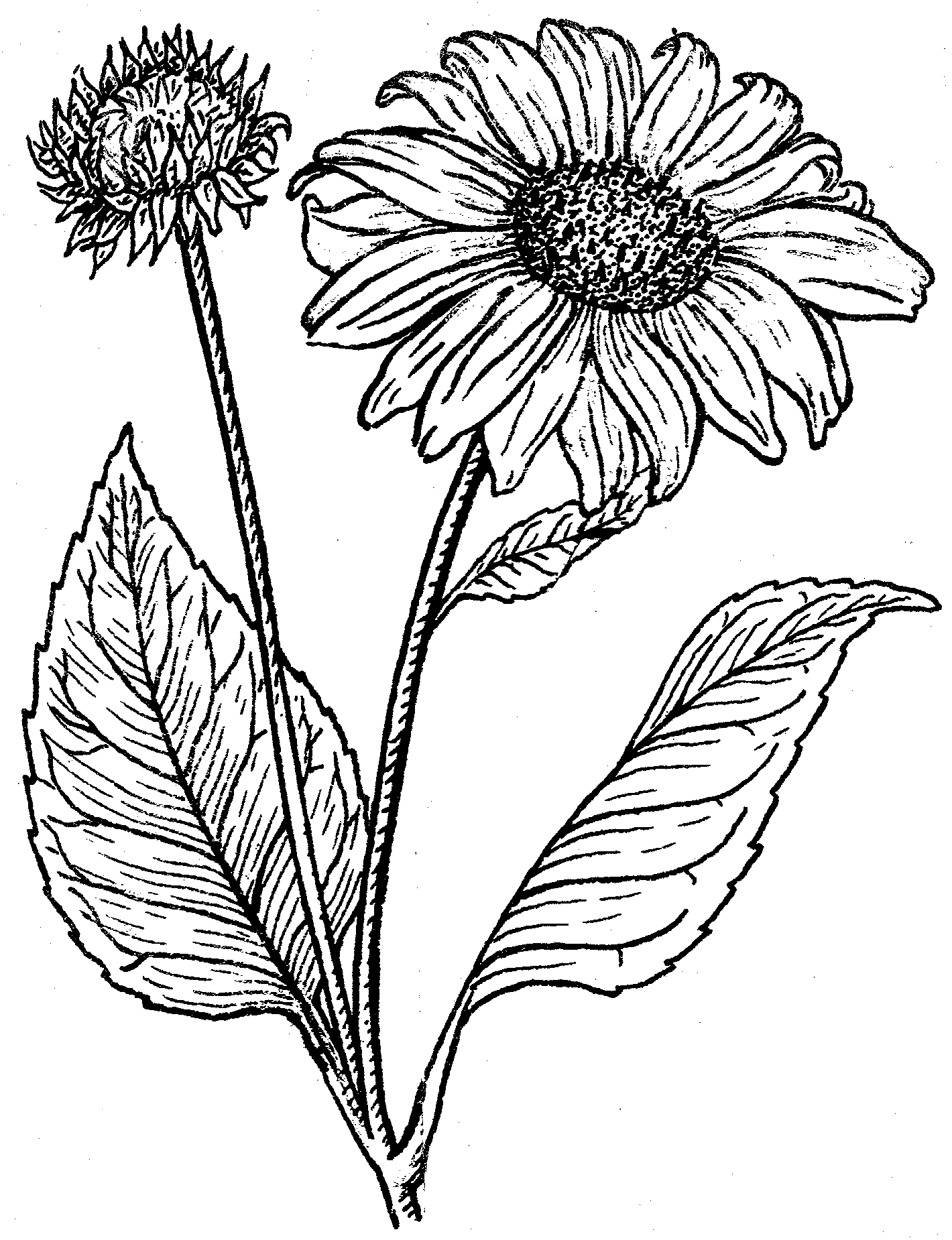Line Drawing Sunflower Tattoo : Line drawing sunflower imgkid the image kid