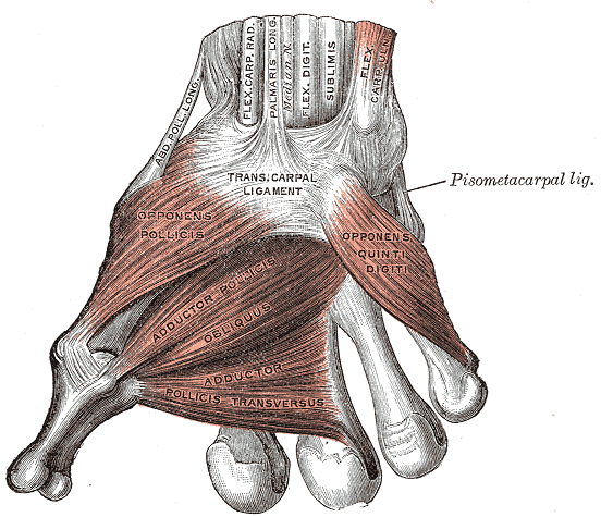 File:Gray426 Muscles and fasciae of the hand.png