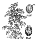 Castor Bean Plant and Fruit 001.png
