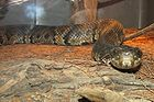Cottonmouth - Water Moccasin - Agkistrodon piscivorus 004.jpg