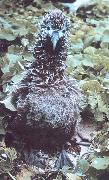 File:Albatross chick 0455.jpg