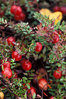 Cranberries On Stems 001.jpg