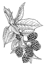 Blackberry 001.png