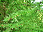 Larix decidua European Larch in Scotland.JPG