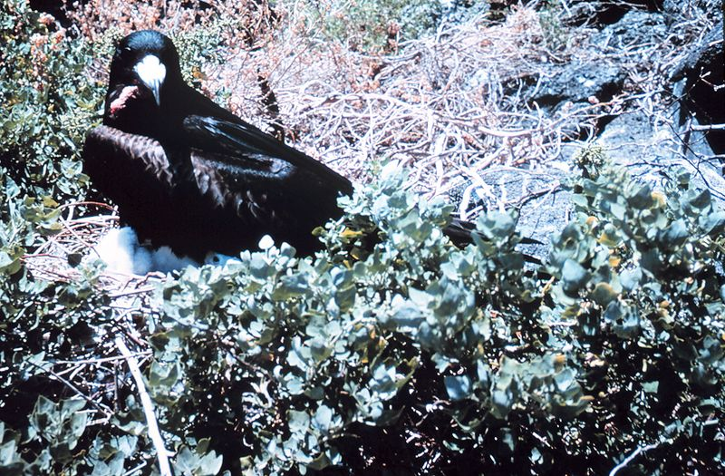 File:A male frigate bird (Frigata minor) with waddle deflated 0446.jpg