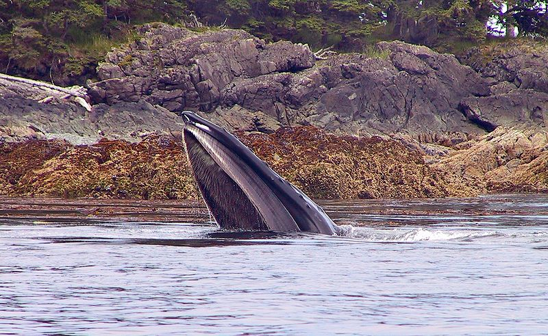 File:A humpback whale feeding on YOY pollock 1076.jpg