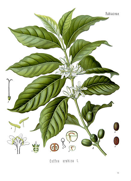 File:Coffea arabica - Arabian coffee 001.jpg