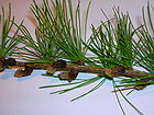 Larix decidua needles and male cones.JPG