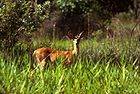 White-tailed Deer2.jpg