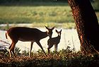 White-tailed Deer with fawn.jpg
