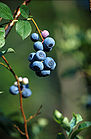 Blueberries On Stem 001.jpg