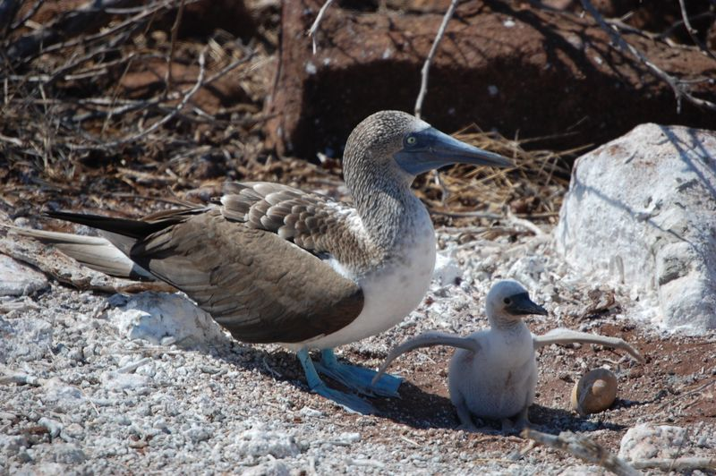 File:A blue-footed booby and its chick 1623.jpg