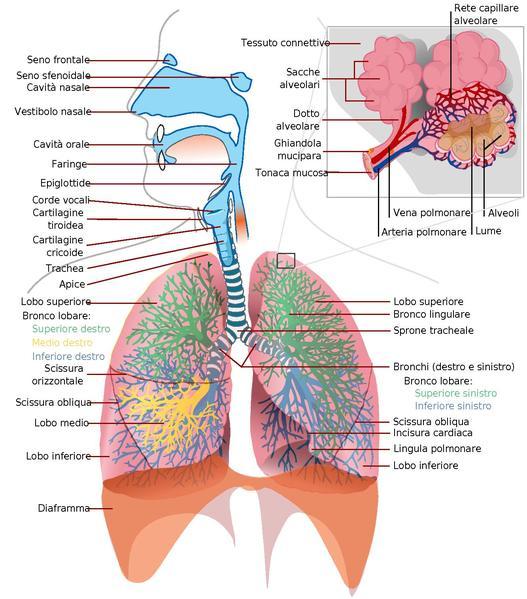 Anatomiadelgraypdfitaliano page1-527px-Respiratory_system_complete_Italiano_Italian.pdf