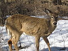 White-tail Deer 001.jpg