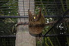 Colugo - Flying Lemur 001.JPG