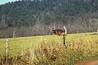 White-tailed Deer4.jpg