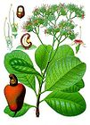 Cashew Plant, Flowers, Nut, and Fruit 001.jpg