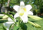 Easter Lilly 005.jpg