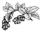 Barberry Fruit and .png