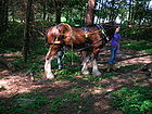Clydesdale Horse Logging in the Larch wood 001.JPG