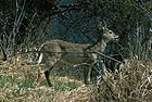 White-tailed Deer5.jpg