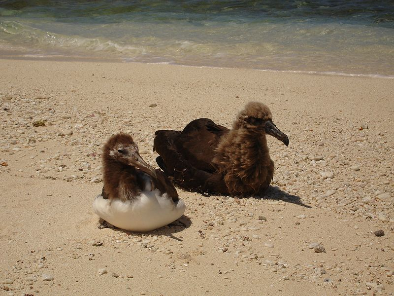 File:Albatross chicks 1562.jpg