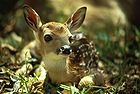 White-tailed Deer Fawn2.jpg