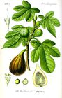 Botanical-Fruit-Ficus-fig-tree.jpg