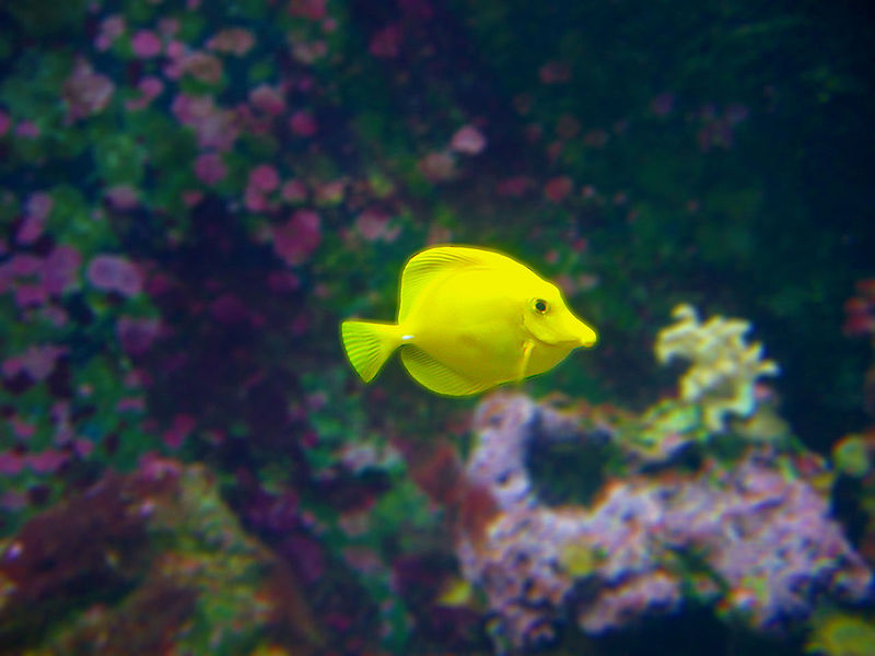 File:Yellow Fish 001.jpg